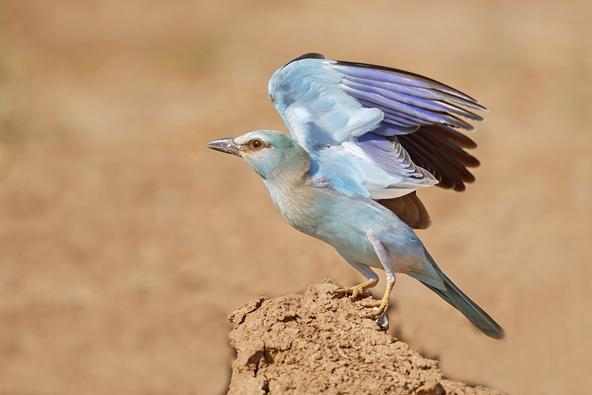 צילום: הכחל המצוי