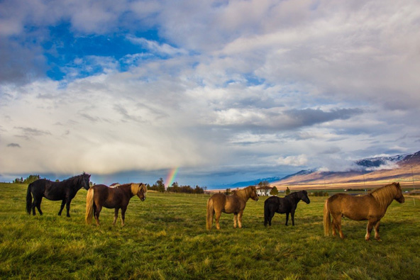 סוסים איסלנדיים וקשת בענן