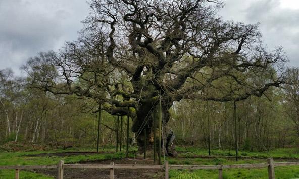 """""""האלון הגדול"""", עץ בן 800 שנה ביער שרווד, נתמך כדי להישאר זקוף"""