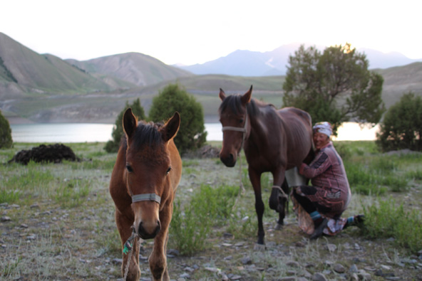 חליבת סוסה. קומוס, חלב סוסות, הוא משקה מקומי פופולרי