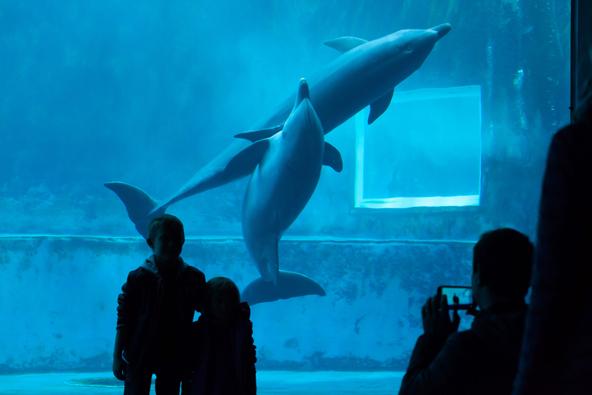דולפינים באקווריום של גנואה