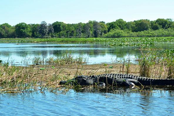 מקווי המים של פלורידה מלאים בתנינים ולכן אסור להיכנס למי האגמים או הביצות