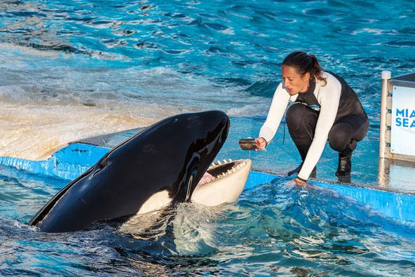Miami Seaquarium מציע מופעים של דולפינים ולווייתנים