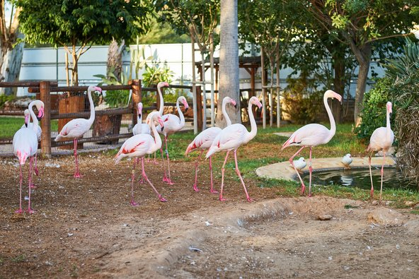 פלמינגו בגן החיות של לימסול