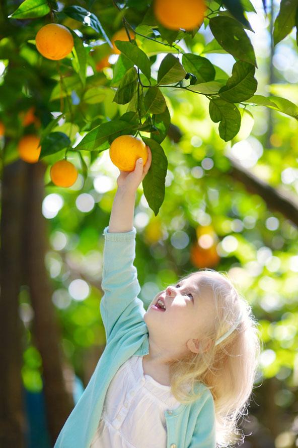 קטיף תפוזים - תענוג חורפי שכדאי להתנסות בו לפני שהפרדסים ייעלמו כליל מהנוף הישראלי
