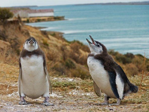 חצי האי ולדז, מקום נהדר לצפייה בפינגווינים