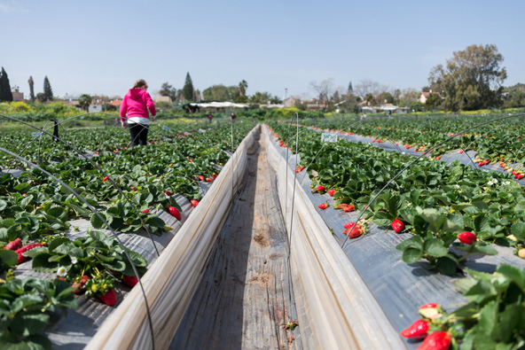 קטיף תותים בהוד השרון. באזור השרון גדלים התותים הטובים בארץ
