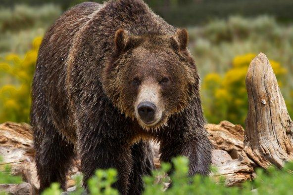 בחודש יוני יש סיכוי לא רע למפגש עם דובי גריזלי בפארק יילוסטון
