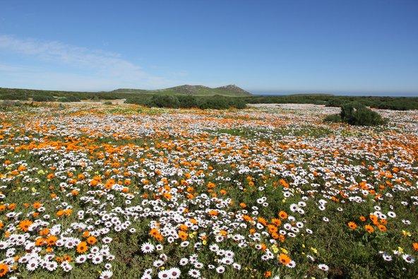 פריחה אביבית ססגונית בחבל נמקוואלנד בדרום אפריקה