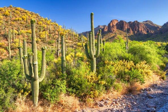 פריחה אביבית של קקטוס הסגוארו באריזונה