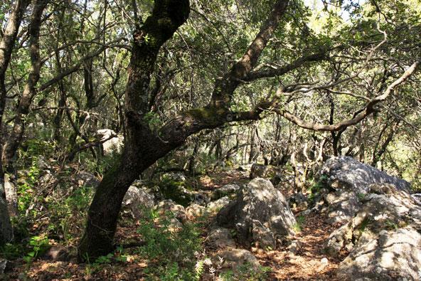 יער ברעם, יער אלונים סבוך ואפלולי