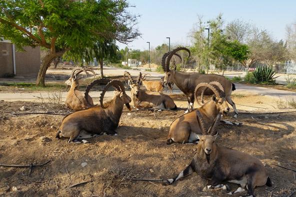 עדר יעלים נח בצהרי היום במצפה רמון | צילום: גיל אל עמי