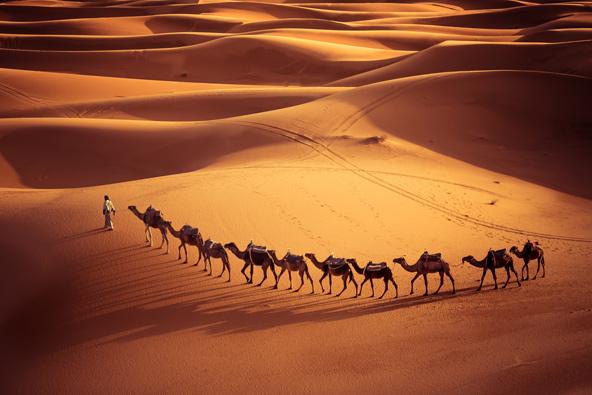 שיירת גמלים בדיונות של הסהרה