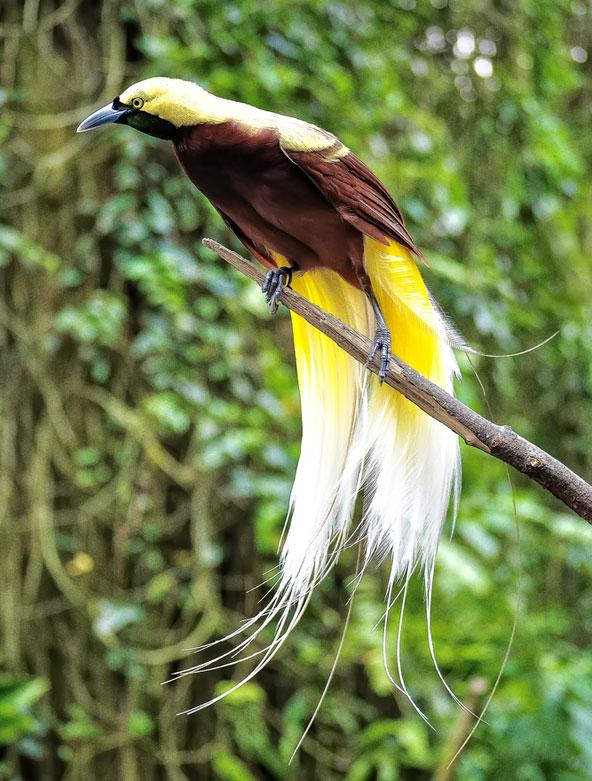 ציפור גן עדן, סמלה של פפואה ניו גיני. ציד וכריתת יערות מאיימים עליה