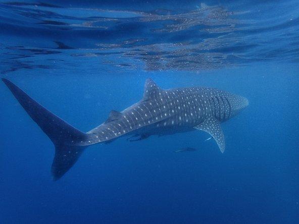 חודש מאי הוא התקופה הטובה ביותר לצפייה בכרישים לווייתנים במפרץ נינגאלו