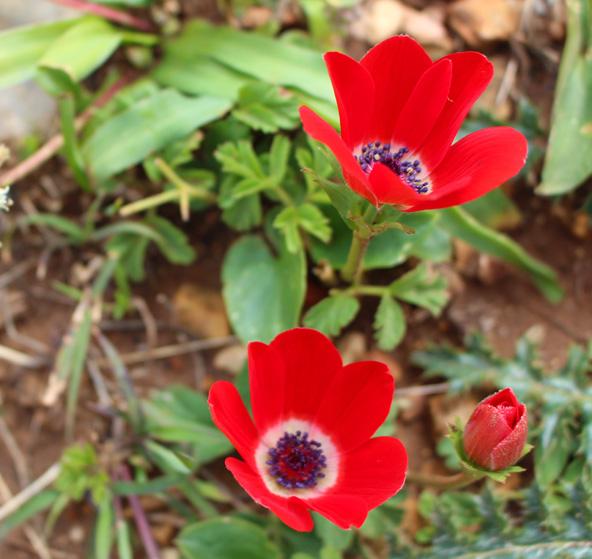 כלניות ליד מערת קשת. בחורף ובאביב האזור מתכסה בפריחה מקסימה