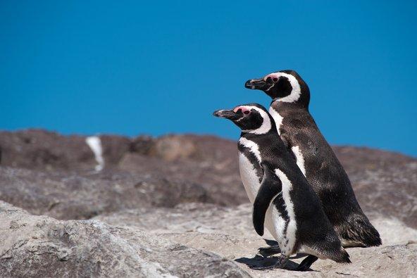 פינגווינים מגלניים בפטגוניה. יש להימנע ממגע ישיר עם בעלי חיים, חמודים ככל שיהיו