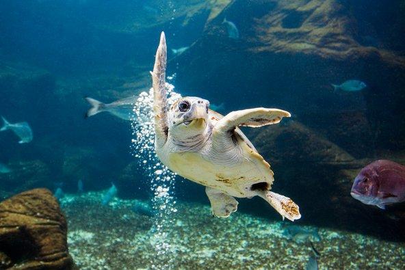 צב ים באקווריום של כרתים | צילומים: שאטרסטוק