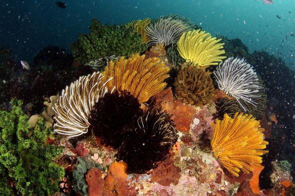 מקבץ של חבצלות ים הגדלות על מסלע השונית, הפיליפינים   צילומים בכתבה: רמי קליין
