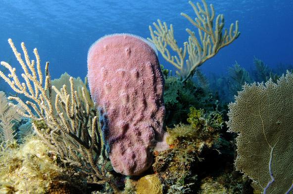 ספוג ואלמוגים בקריביים, גני המלכה, קובה