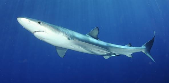 כריש כחול באיים האזוריים