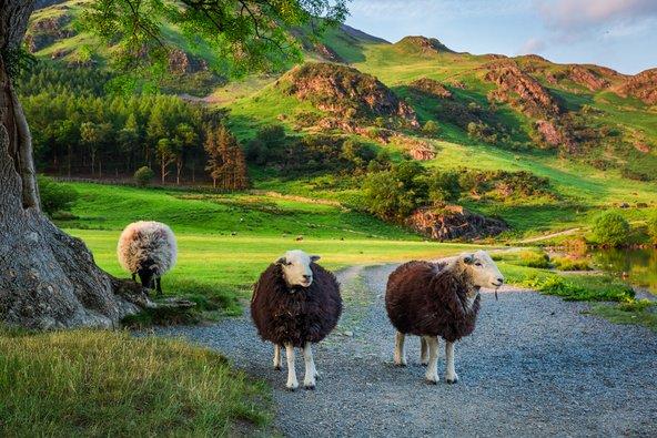 גם הכבשים נהנות מהנופים הפסטורליים של הכפר גרסמיר
