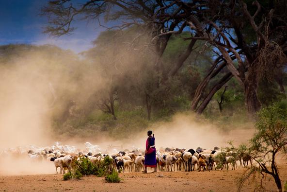 רועה צאן בשמורת אמבוסלי בקניה