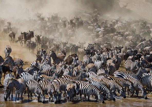 עדרי זברה וגנו חוצים את נהר מארה בשמורת מסאי מארה בזמן הנדידה הגדולה