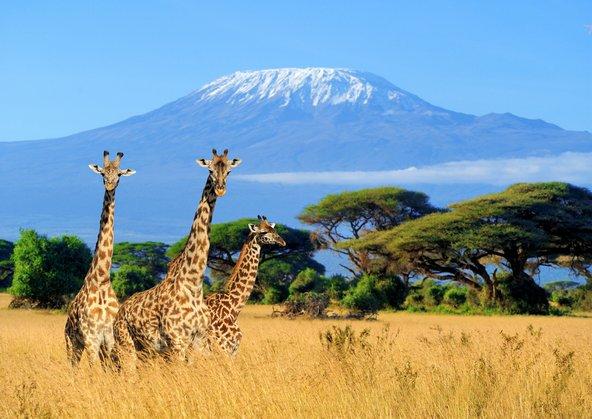 ג'ירפות על רקע הקילימנג'רו, ההר הגבוה באפריקה, שפסגתו מושלגת כל השנה
