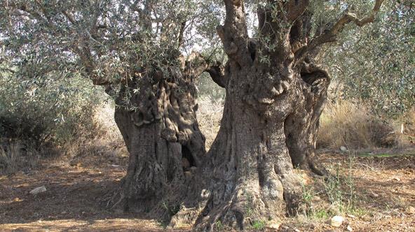 עץ זית עתיק מזן סורי בדיר חנא | צילום: יעל עופר