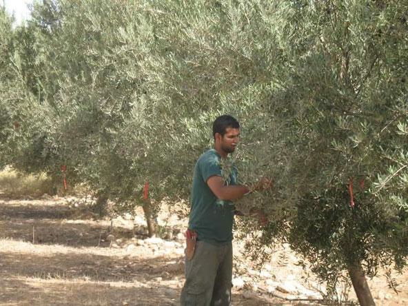 משק עמוסי, הבן טלאור גוזם עצי זית