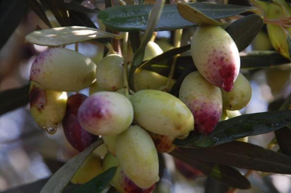 הזן ברנע, פרי פיתוח ישראלי, שכבש את העולם בהצלחה | צילום: ערן גלילי