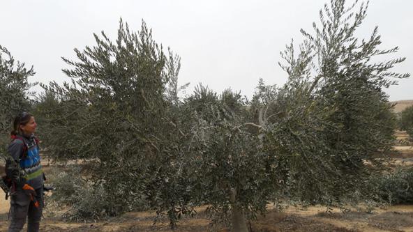 שמחה מרום גוזמת עצי זית