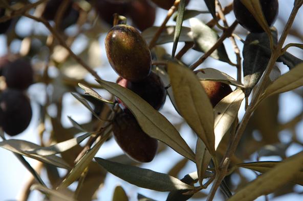 הזן הסורי, הפופולרי ביותר בישראל   צילום: ערן גלילי