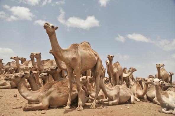 שוק גמלים בסומליה