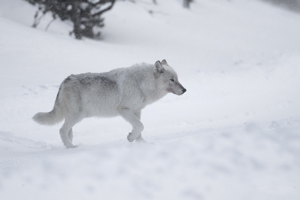 ילוסטון בחורף: שעת הזאבים