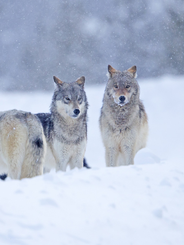 זאבים בפארק ילוסטון המכוסה בשלג   הצילומים בכתבה: שלמה ולדמן