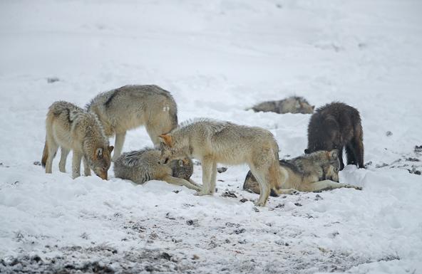 הזאבים שינו באופן דרמטי את המאזן האקולוגי של ילוסטון