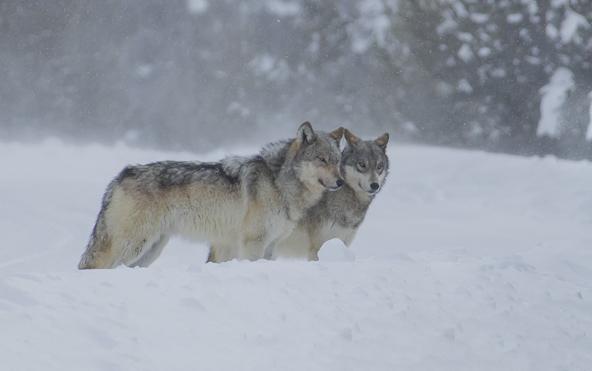 עמוק בשלג. לא פשוט לצלם בחורף בילוסטון, אבל התוצאה יותר ממצדיקה את המאמץ