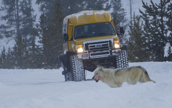 בין הזאבים היו כאלה שהטמינו חתיכת בשר במקום מרוחק, כדי לסעוד מאוחר יותר בשקט ובבטחה