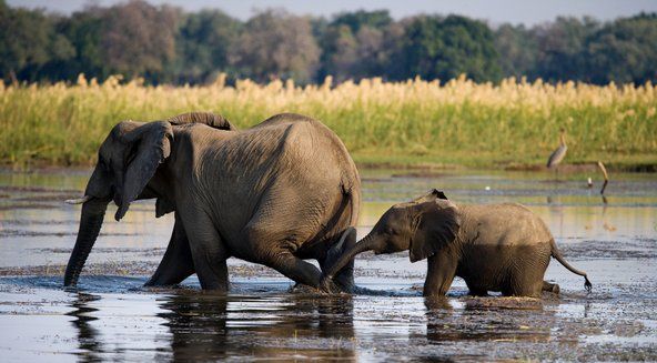 פילים חוצים את נהר הזמבזי בפארק הלאומי זמבזי התחתון