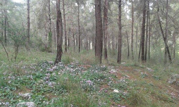 יער צרעה המכוסה ברקפות ביום חורפי