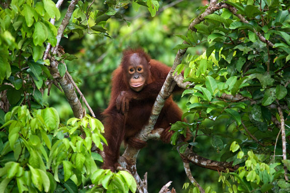 אורנג אוטן ביער גשם בקלימנטאן, האי הנחלק בין אינדונזיה, מלזיה וברוניי.