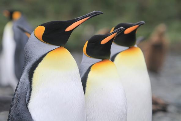 שייט לאנטארקטיקה, פוקלנד וג'ורג'יה הדרומית בהדרכת דנדן בולוטין