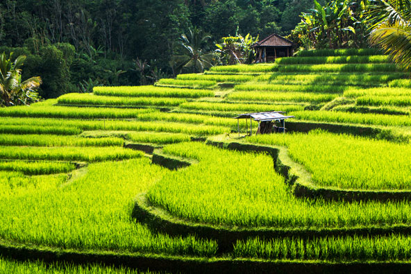 טרסות האורז של ג'טי לווי, פלא הנדסי מרהיב
