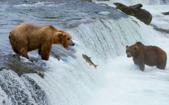 דובים צדים דגי סלמון במפלי ברוקס