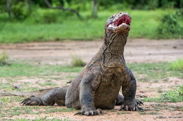 עדיף להימנע ממגע קרוב מדי... דרקון קומדו, טורף-על בעל ממדים גדולים במיוחד