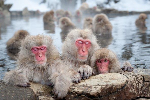 קופי השלג בנאגאנו, מהאטרקציות הפופולריות ביפן