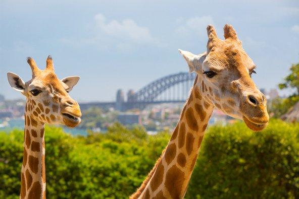 ג'ירפות בגן החיות טרונגה