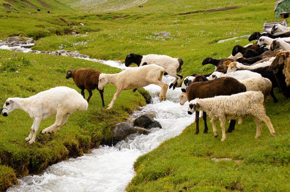 עדר חוצה נחל